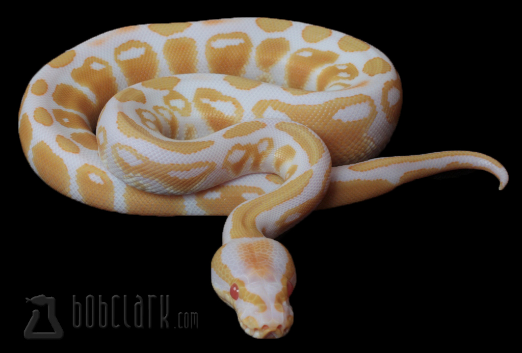 Albino, high contrast