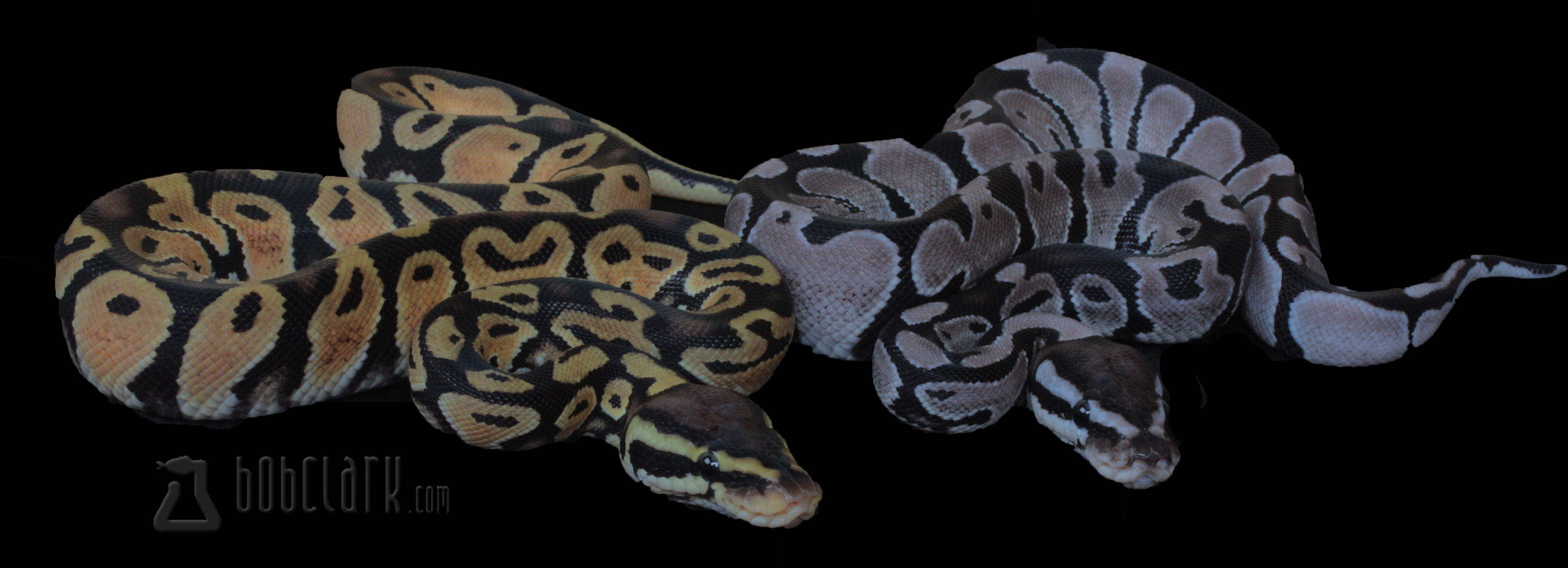VPI Axanthic female and Pastel VPI het