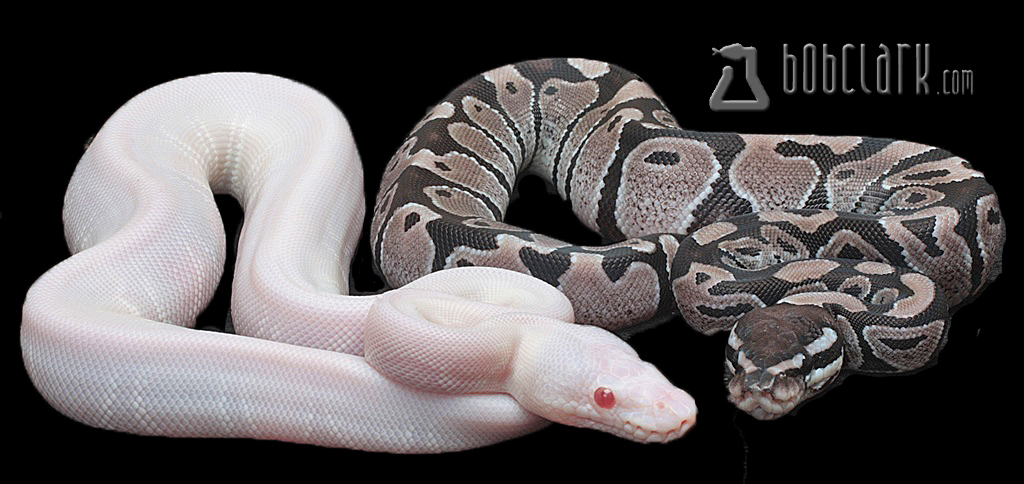 VPI snow male and axanthic female het albino