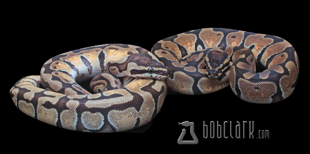 Pastel Enchi male and Enchi female