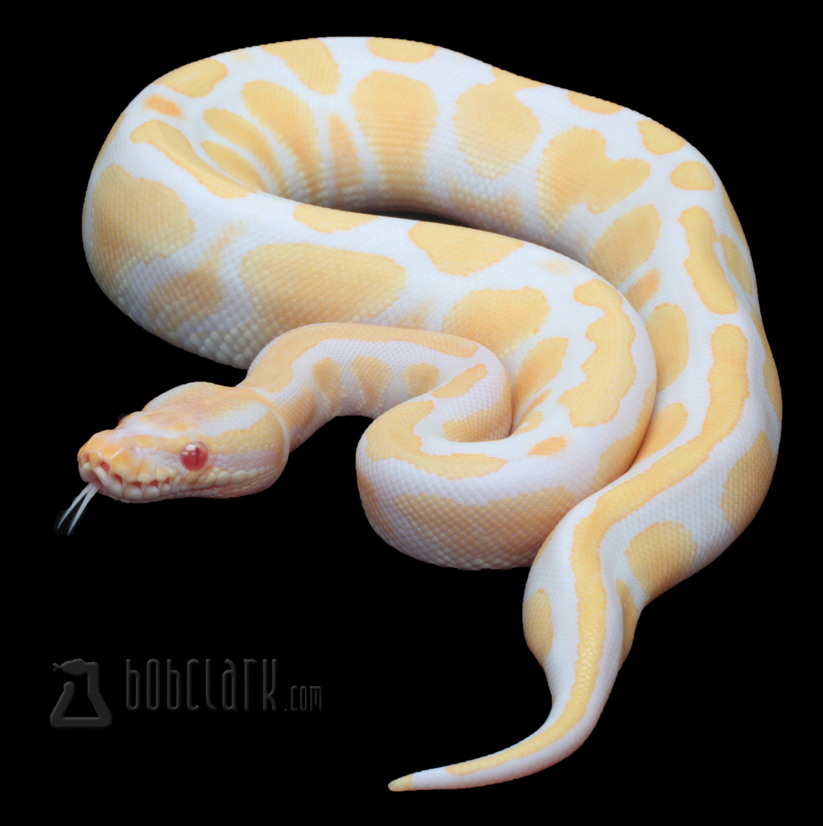 High contrast albino