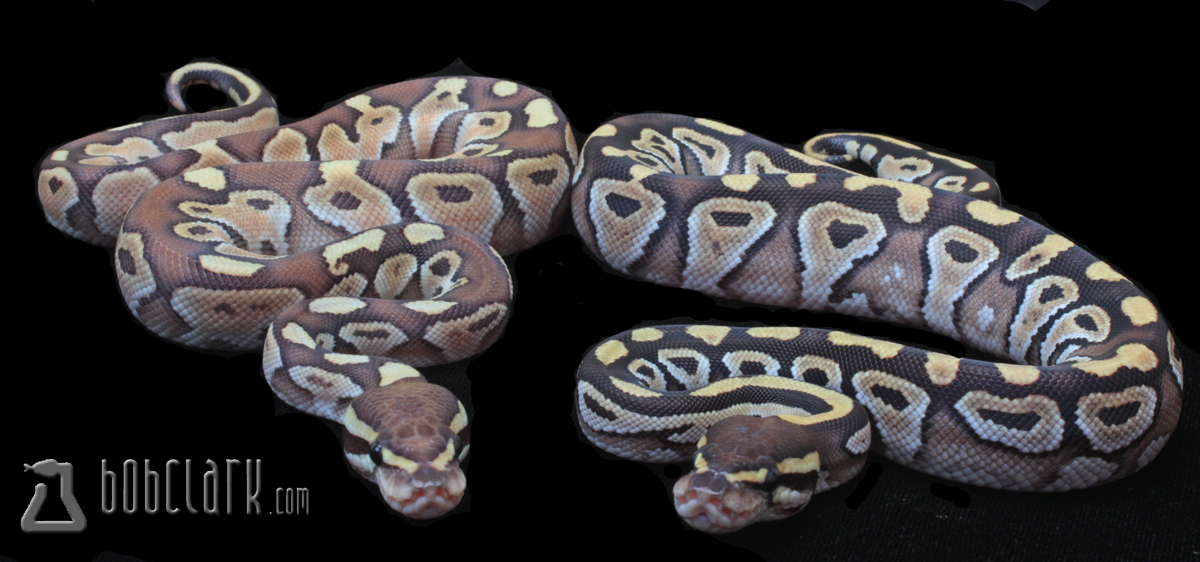 Lesser and Mojave pair