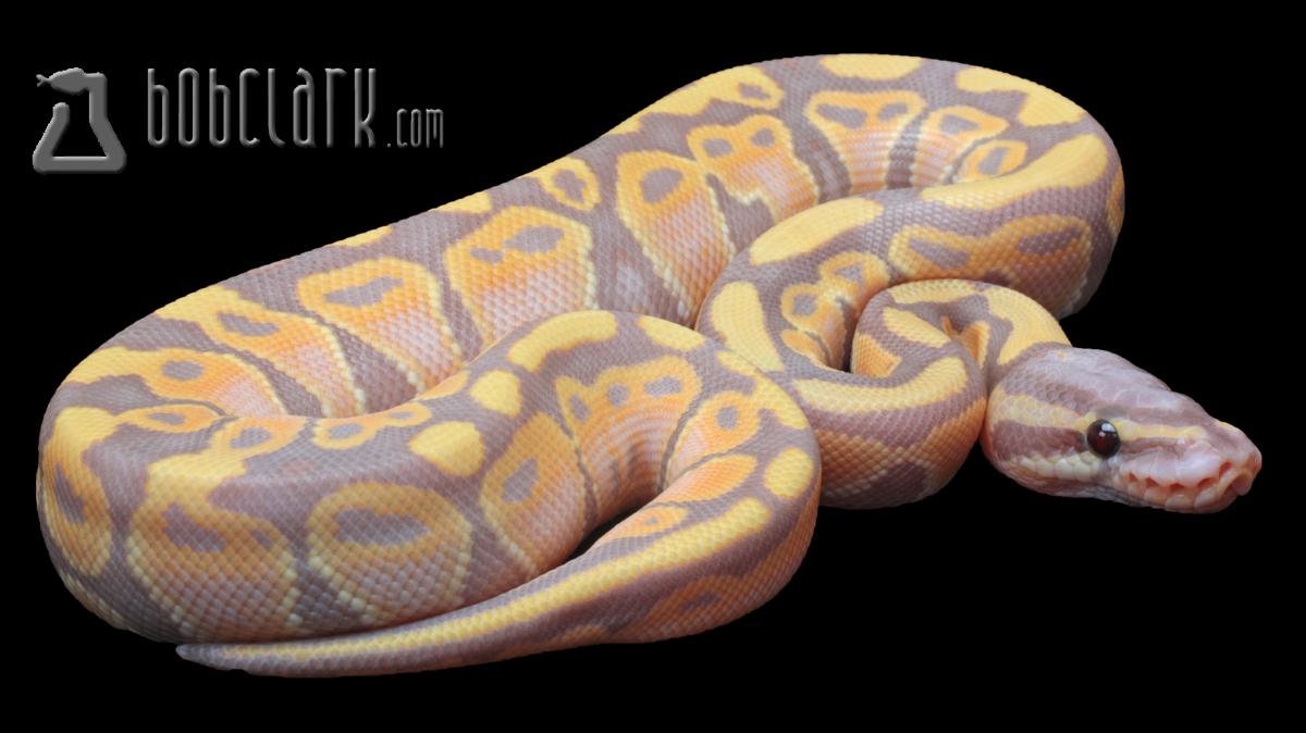 pastel banana ball python