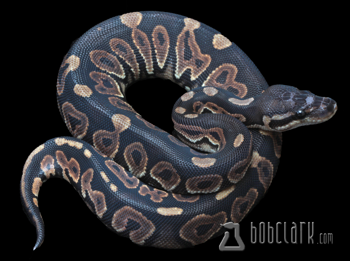 Scaleless het cinnamon