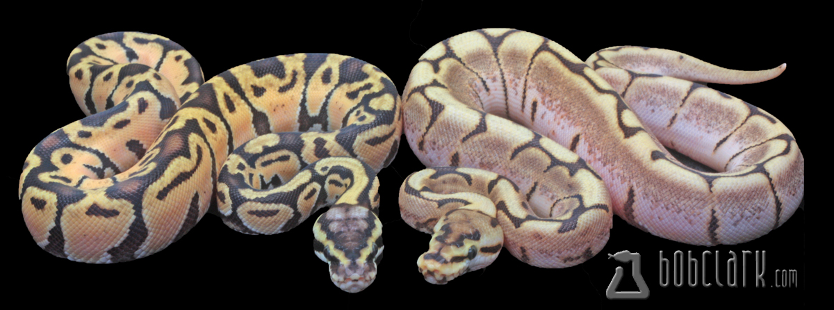 Pastel Enchi male and Enchi spider female