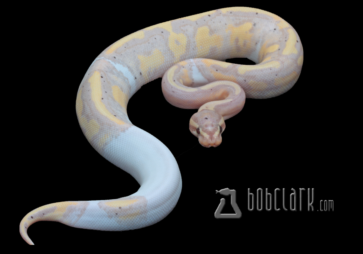 Banana pastel pied poss yellow belly