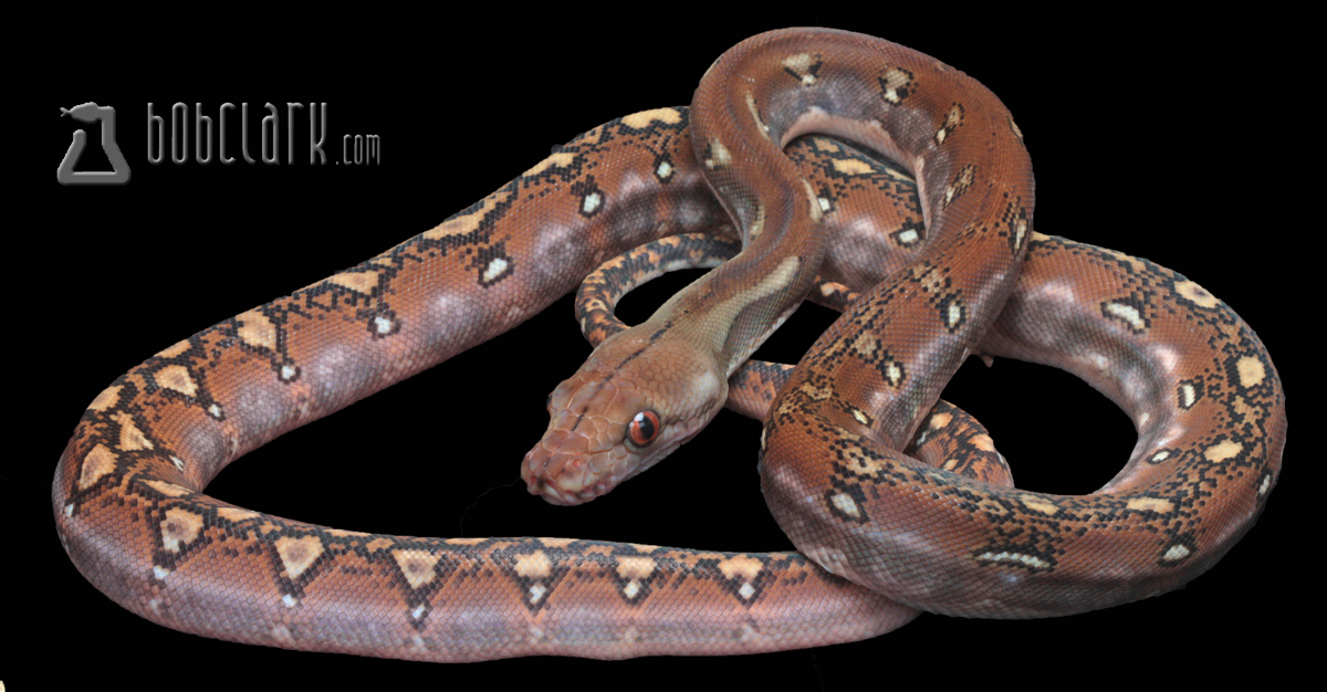 Phantom poss het purple albino