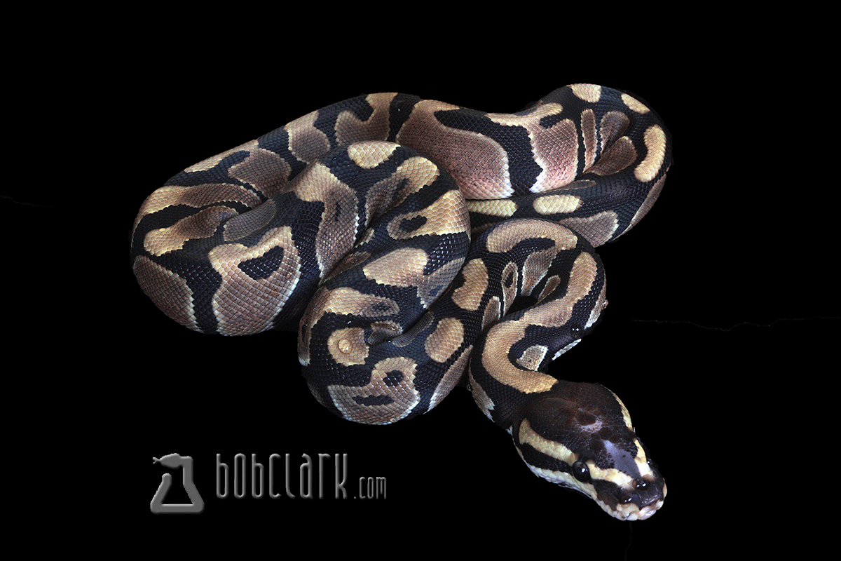 Scaleless head het pied