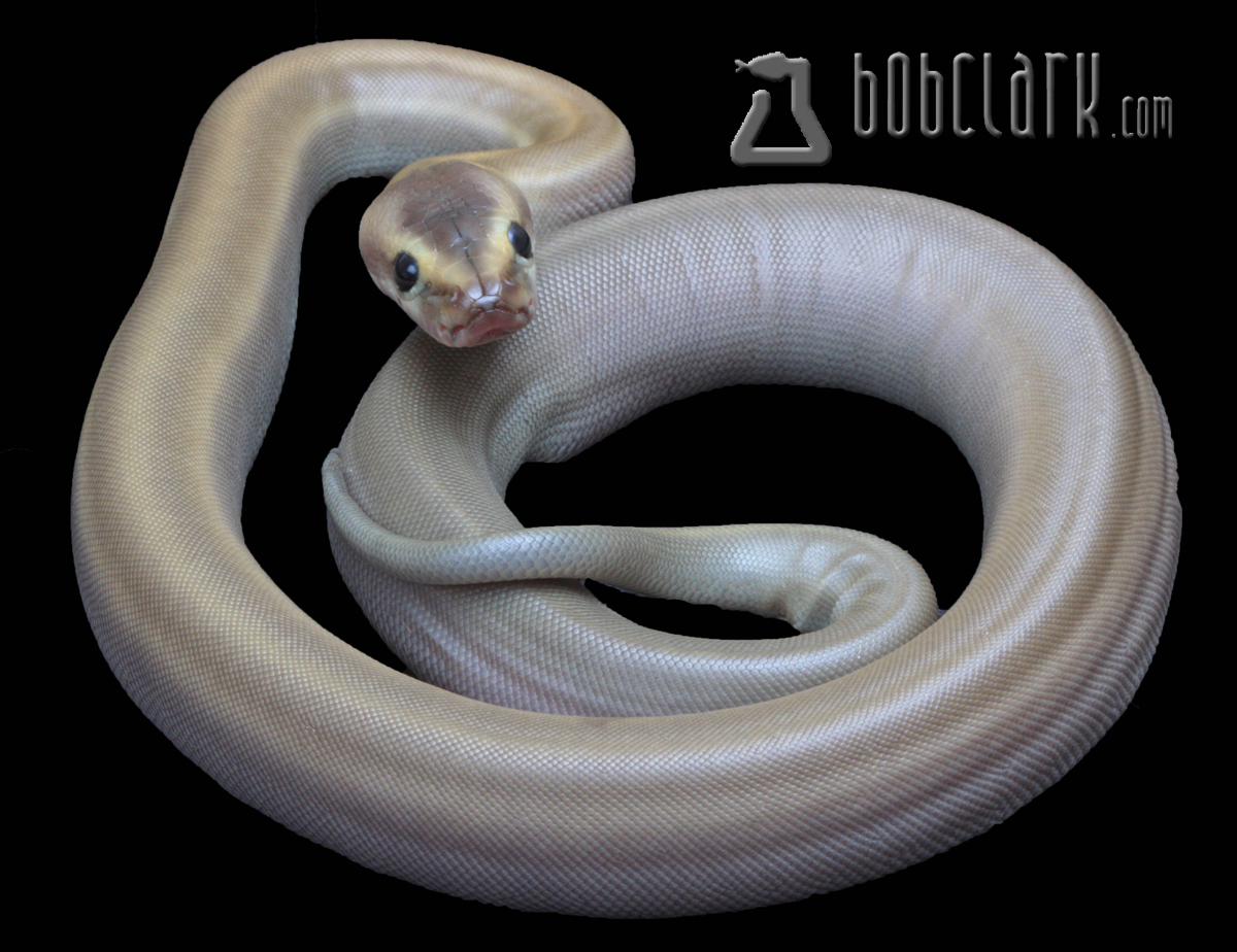 Patternless African rock python