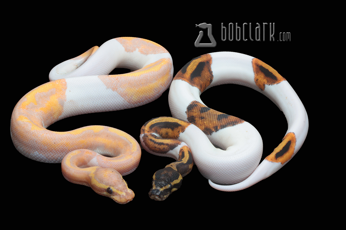 Banana pied male and Pied female