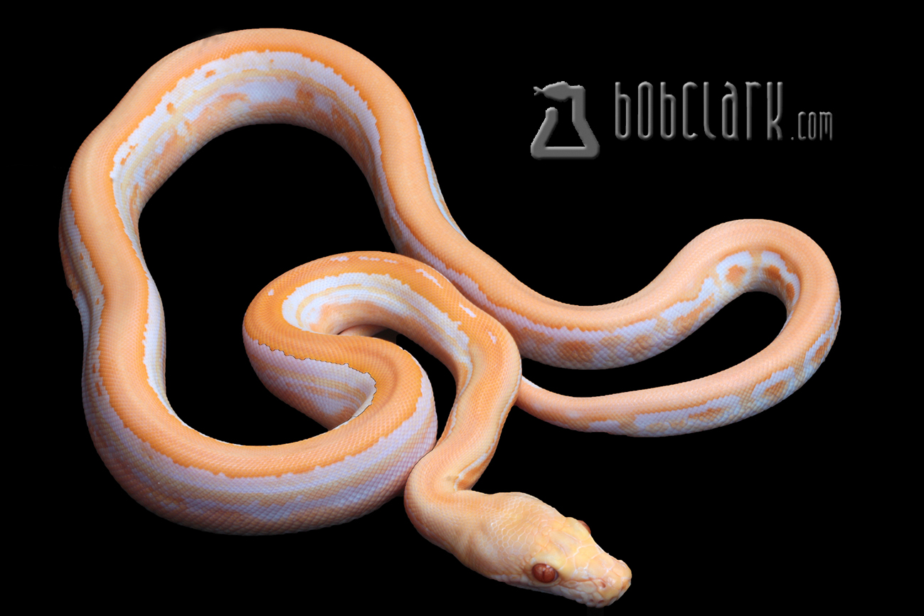 Albino genetic stripe